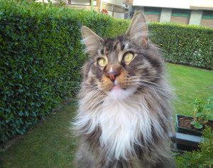 Smarrito gatto a Tirano